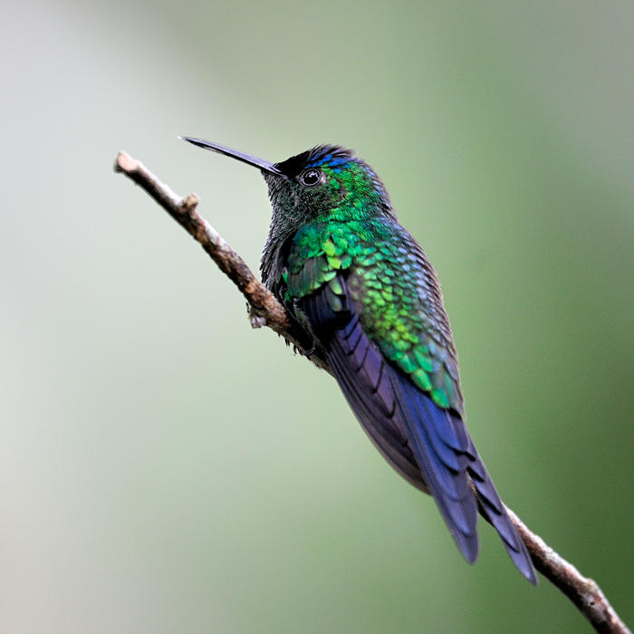 Violet-capped Woodnimph1