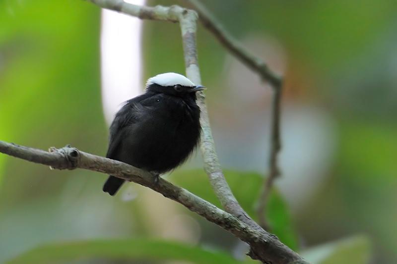 White-crowned Manakin