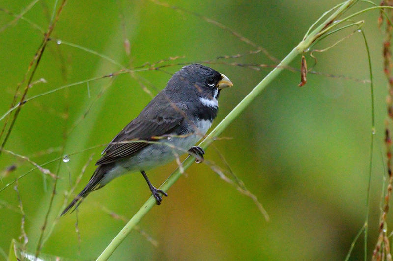 Double-collared Seedeater bp.jpg