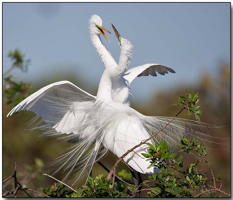 Great Egret - mating