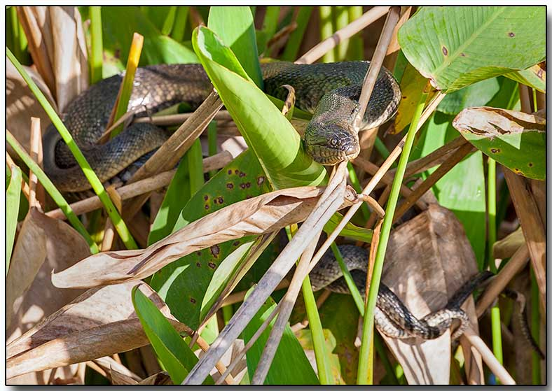 Banded Water Snake - male and female