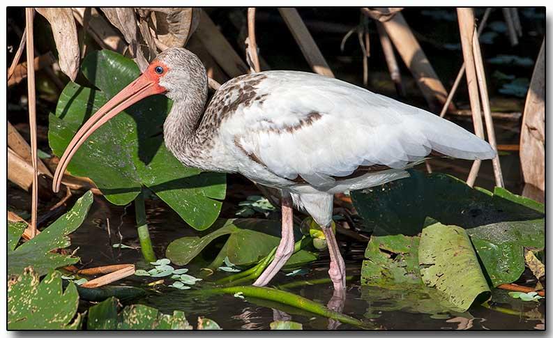 White Ibis - juvenile