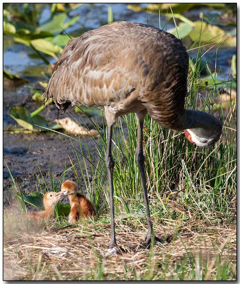Sandhill Crane with chicks