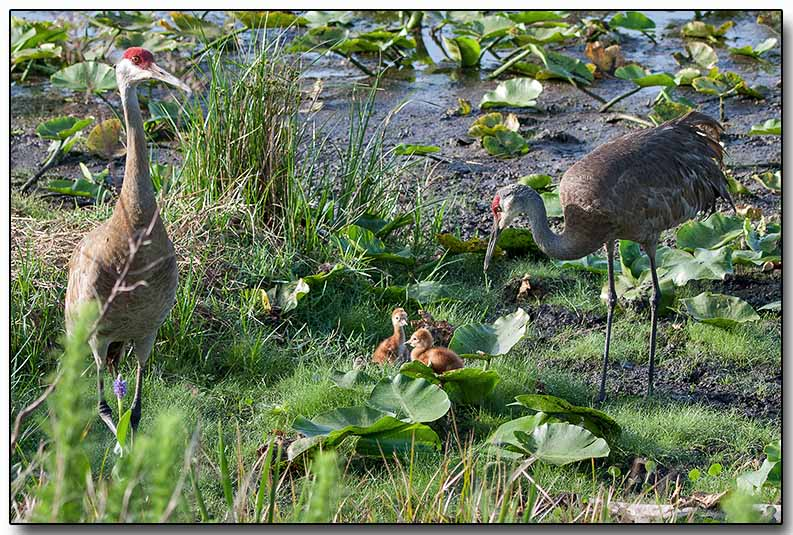 Sandhill Cranes with chicks