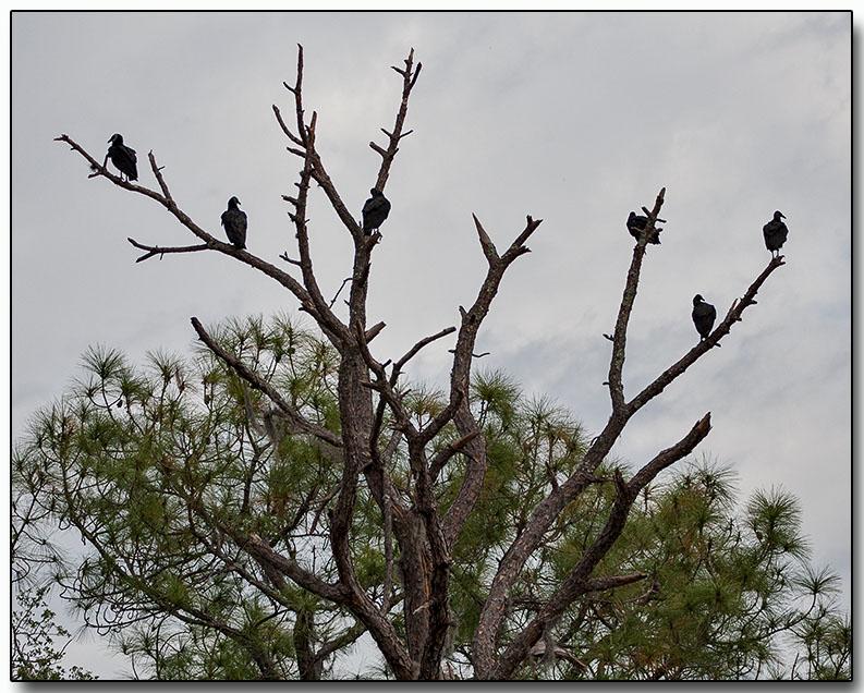 Vulture Tree