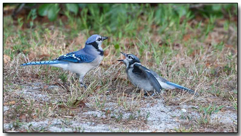 Blue Jay - feeding the juvenille