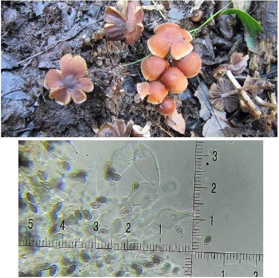 Psathyrella fulvescens