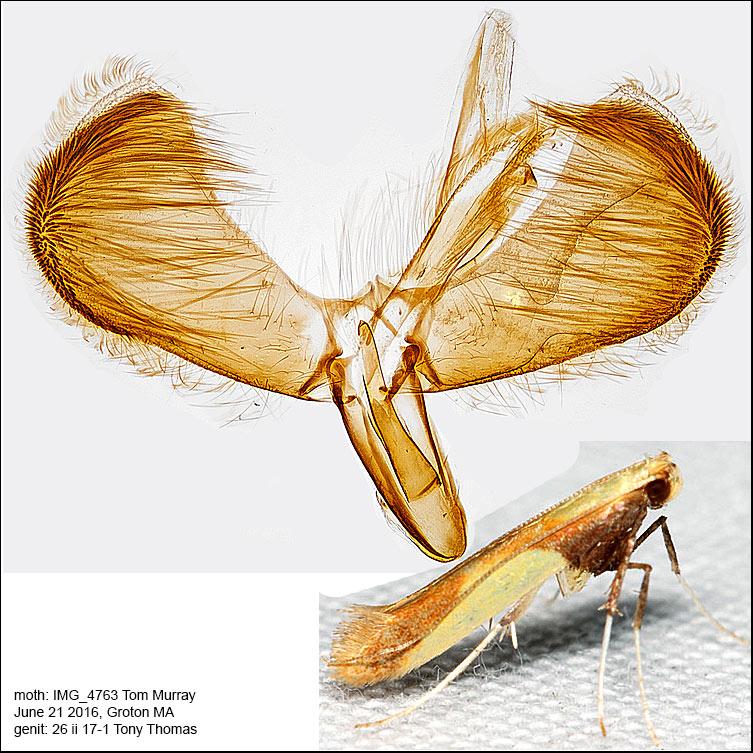 0641 - Caloptilia superbifrontella IMG_4763.jpg