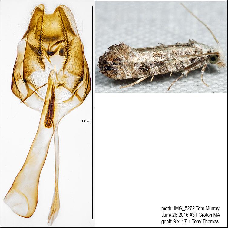 0317 – Clemens Bark Moth – Xylesthia pruniramiella IMG_5272.jpg