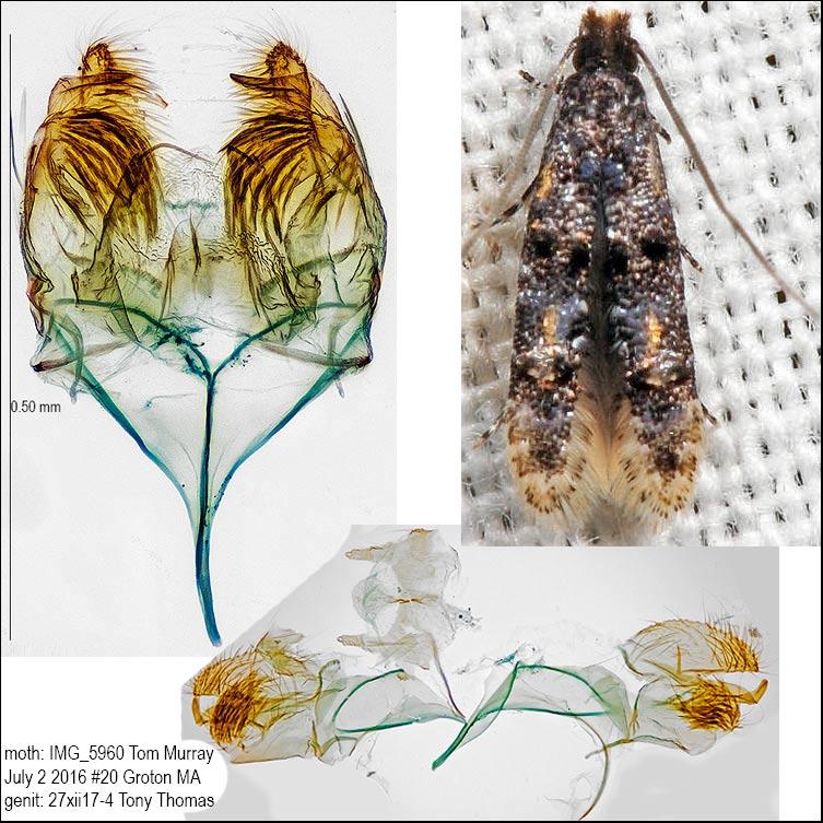0296 – Stenoptinea auriferella IMG_5960.jpg