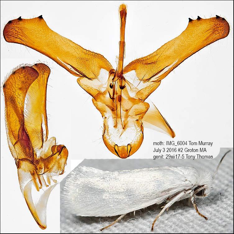 0200.1 – Bogus Yucca Moth – Prodoxus decipiens IMG_6004.jpg