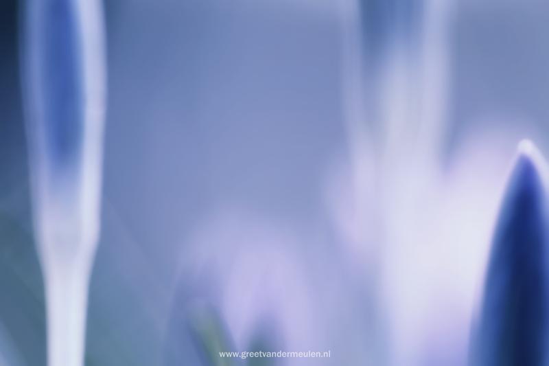 2N9B5208 180902 spring crocus - a frosty harbringer of spring