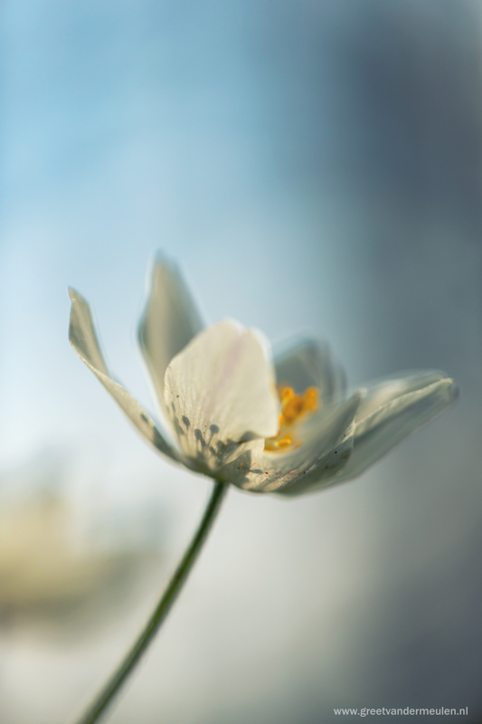 2N9B7184 wood anemone -  bosanemoon