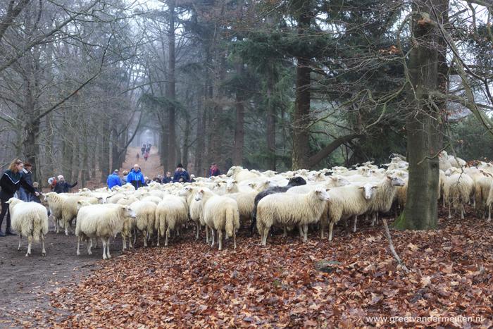 2N9B5342 flock of sheep Lemelerberg, schaapskudde tweede kerstdag