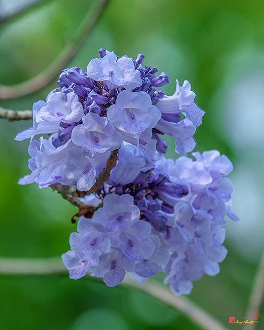 Jacaranda, Black Poui, Fern Tree or Green Ebony (Jacaranda mimosifolia) (DTHN0251)