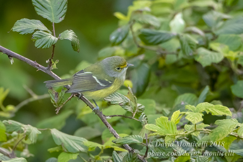 White-eyed Vireo (Vireo griseus)_Bottom of Mountain Reservoir (Corvo)