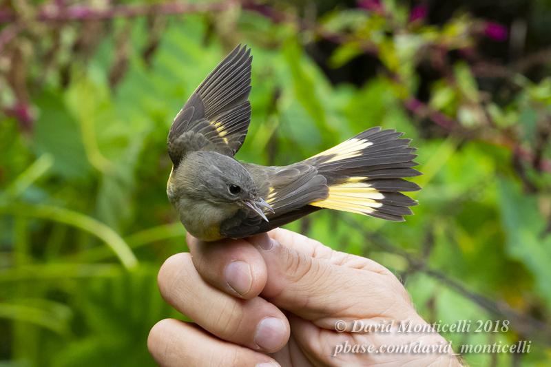 American Redstart (Setophaga ruticilla)_Ribeira de Poço de Agua (Corvo)
