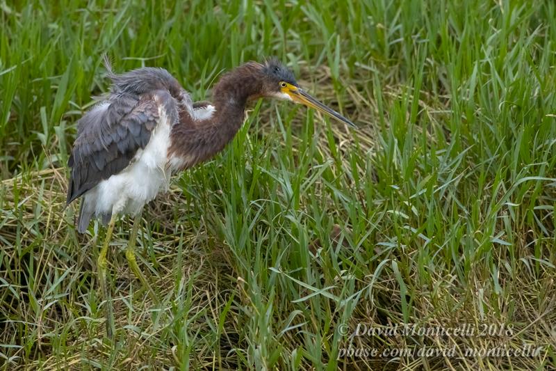 Tricoloured Heron (Egretta tricolor)_Ribeira Quente (Sao Miguel)