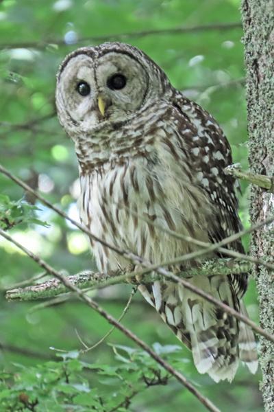 2429 barred owl