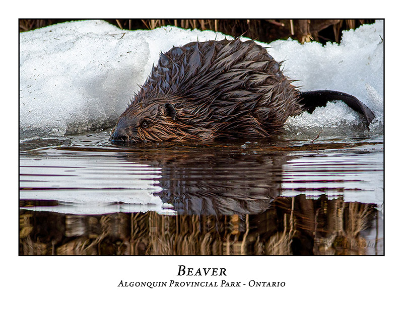 Beaver-002