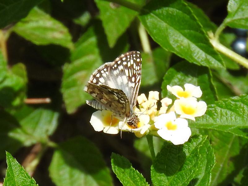 Tropical Checkered Skipper (Pyrgus oileus)