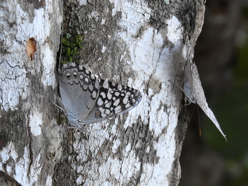 Pale Cracker (Hamadryas amphichloe)