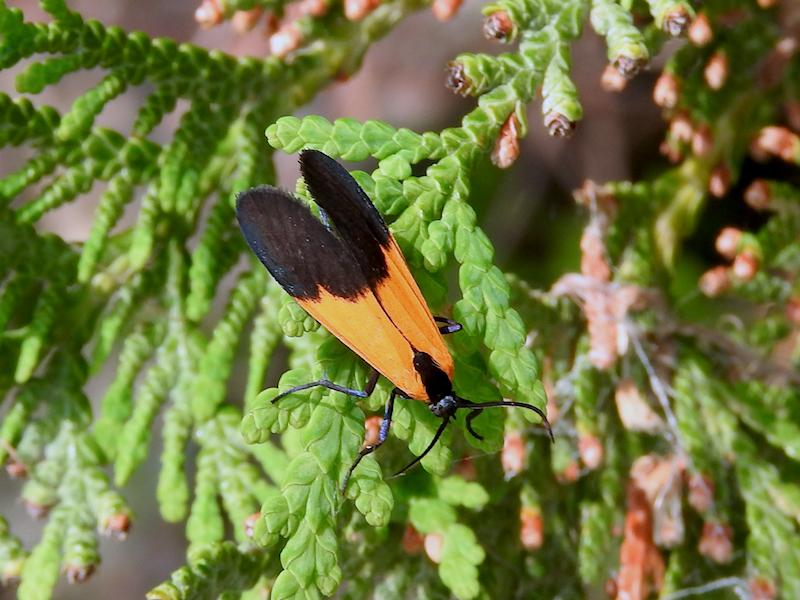 Black-and-yellow Lichen Moth (<i>Lycomorpha pholus</i><br>Hodges#8087