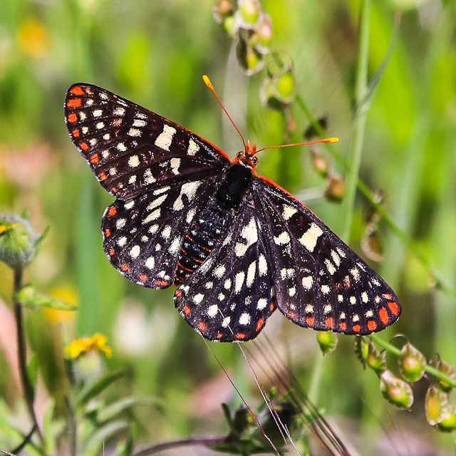 Butterfly in the Hetch Hetchy Valley of Yosemite NP