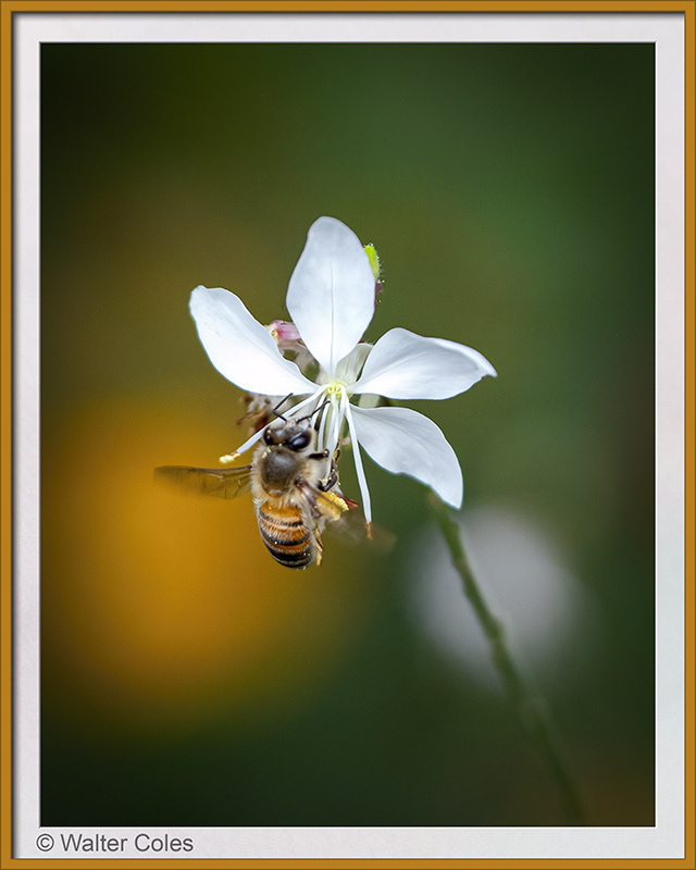 Bee_on_flower_9819_CC_S2_Vign_Frame_w.jpg