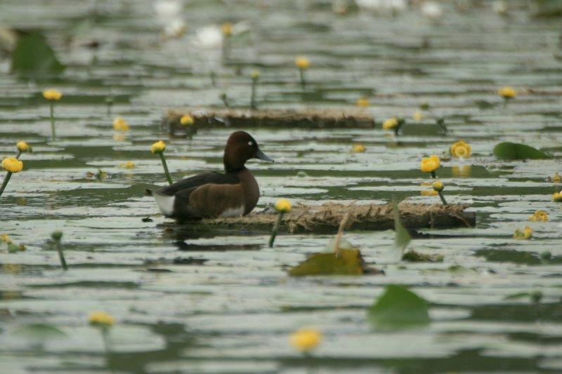witoogeend - Ferruginus duck - Aythya nycoca