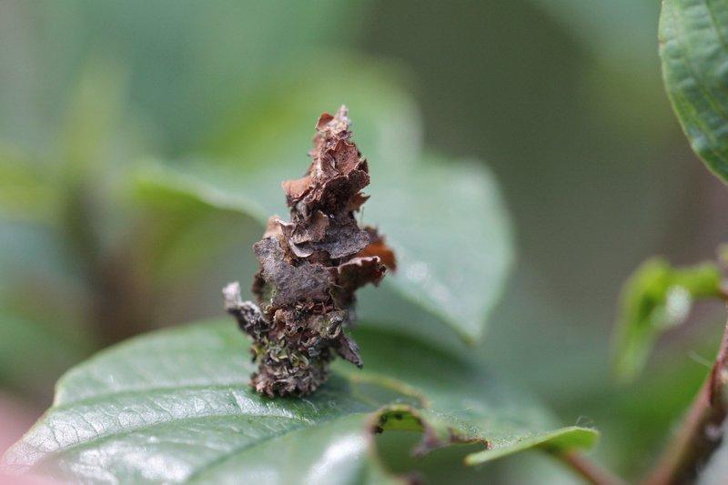 Sterrhopterix fusca - Grijze heidezakdrager