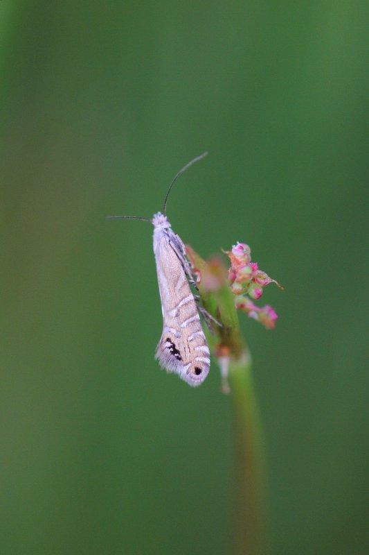 Glyphipterix thrasonella - Grote parelmot
