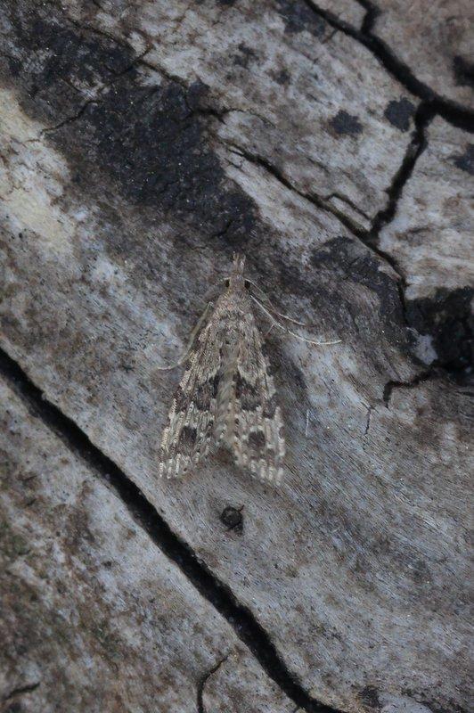 Alucita hexadactyla  - Waaiermot
