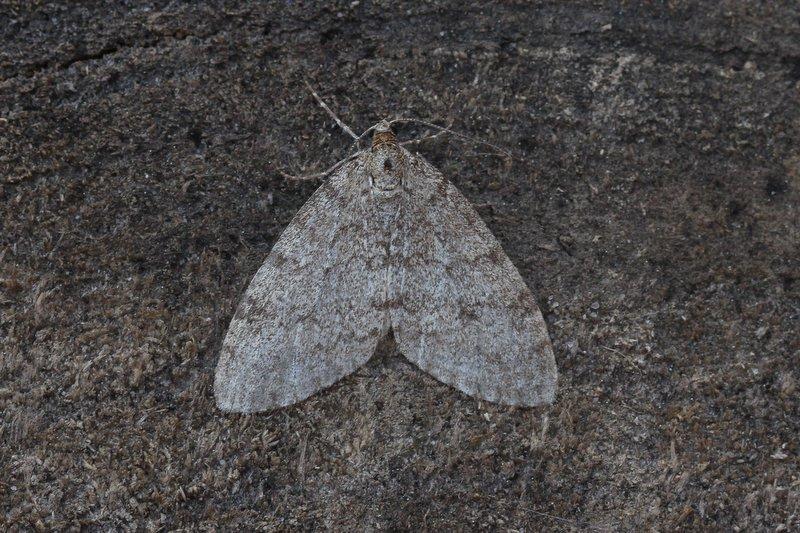Lobophora halterata - Lichte blokspanner