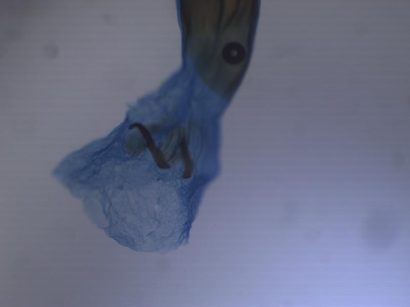 Mompha subbistrigella - Basterwederikpeulmot