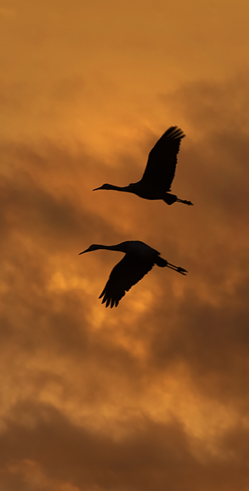 Mirrored Flight, Sandhill Cranes