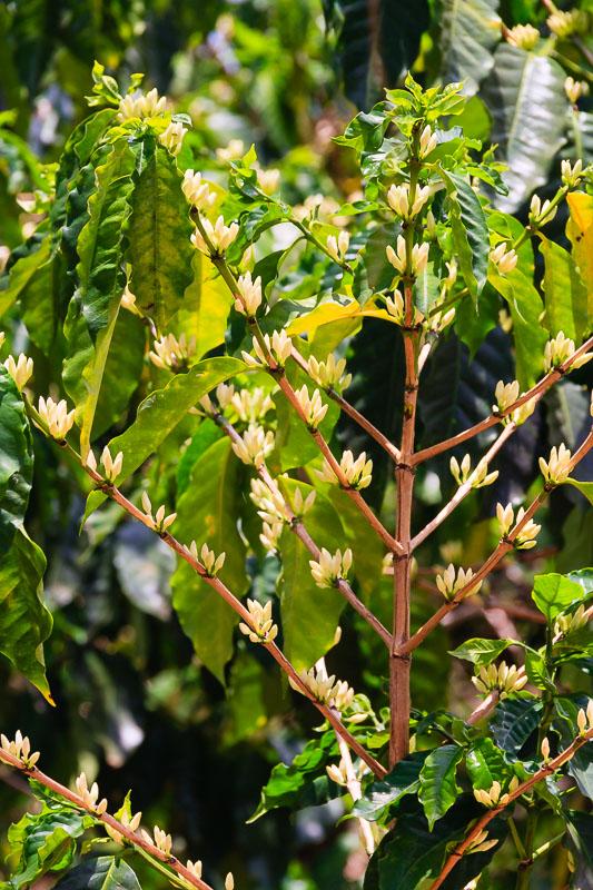 Coffee Plant In Flower