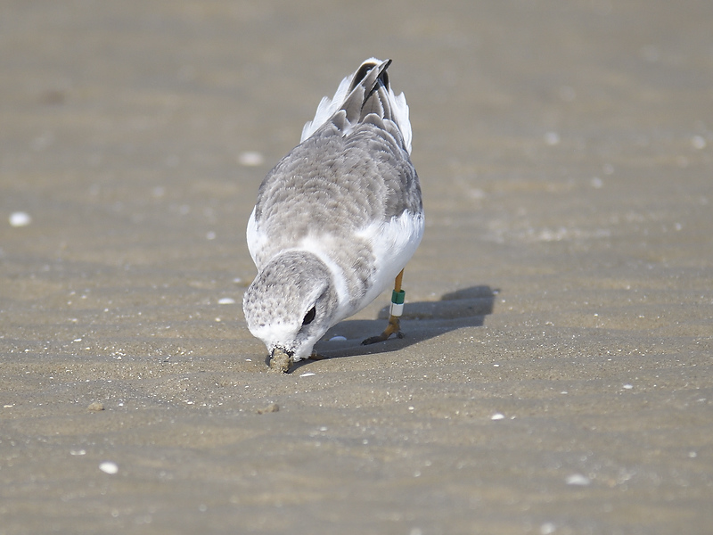 piping plover band BRD5864.JPG
