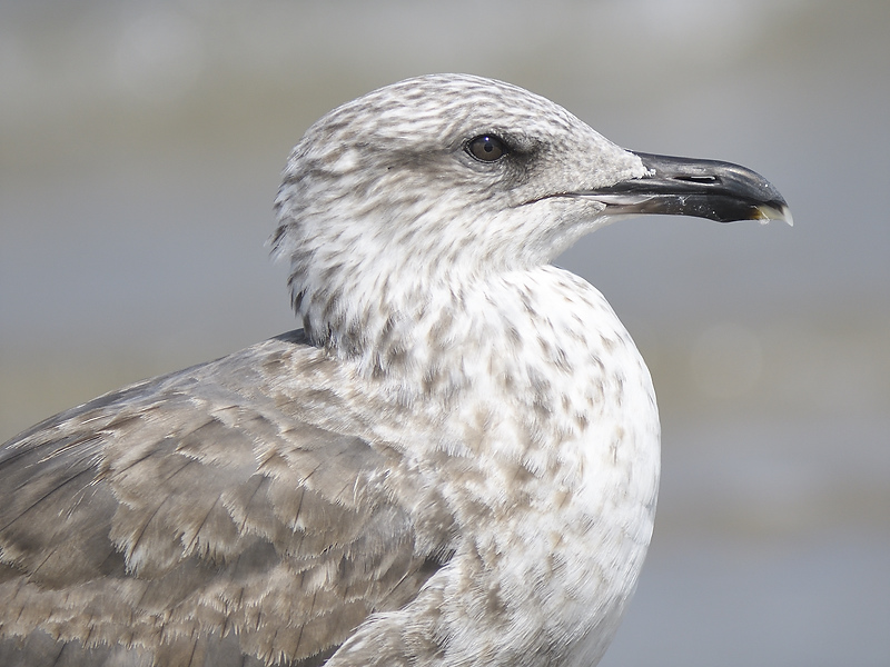 lesser black-backed gull BRD6048.JPG