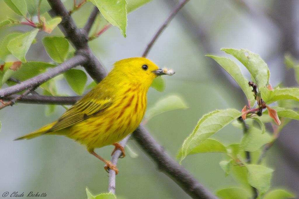 Paruline jaune mâle 169497675.dH0tMr42.Parulinejaune_MG_8453