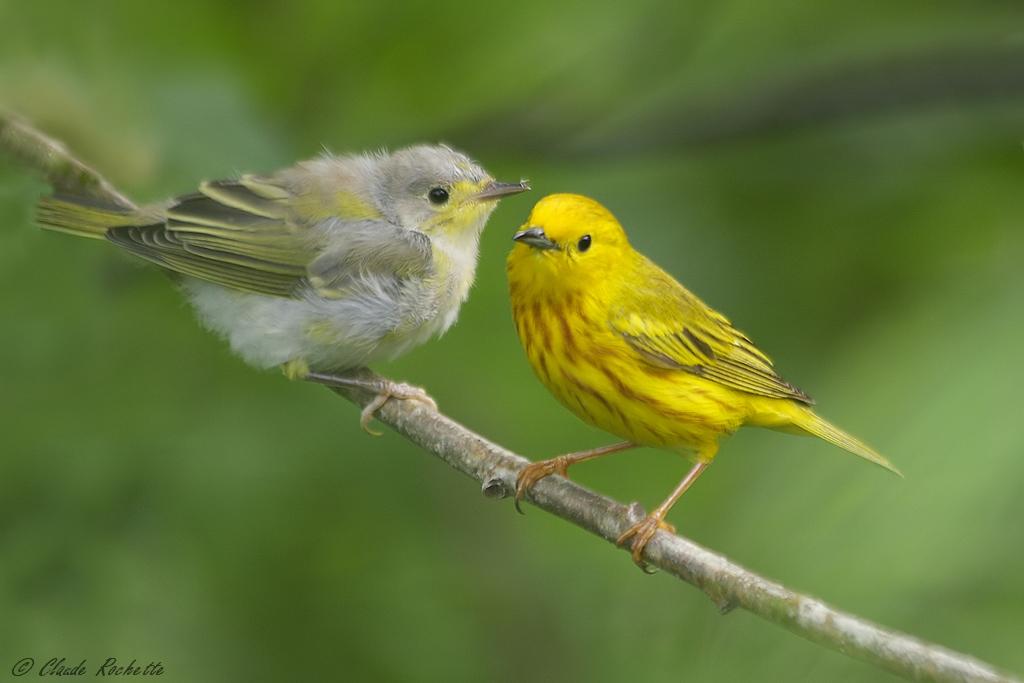 Paruline jaune mâle et son jeune! 169500926.N6PDRDcO.Parulinejaune_MG_8471