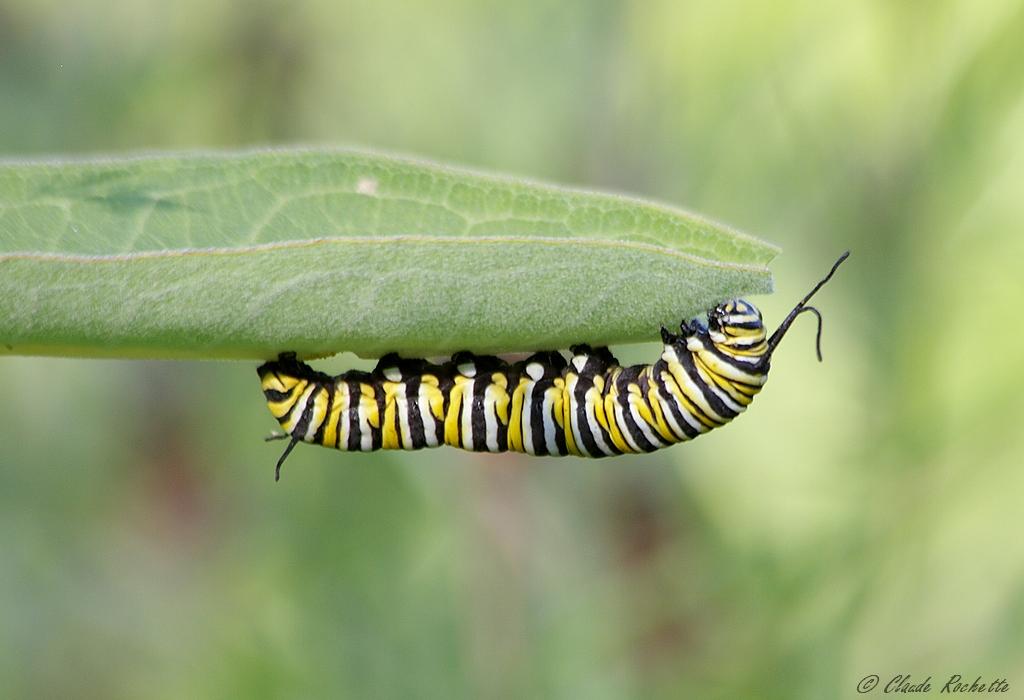 Chenille du papillon monarque 169855006.MpgajrWi.ChenilleduMonarque_MG_9243