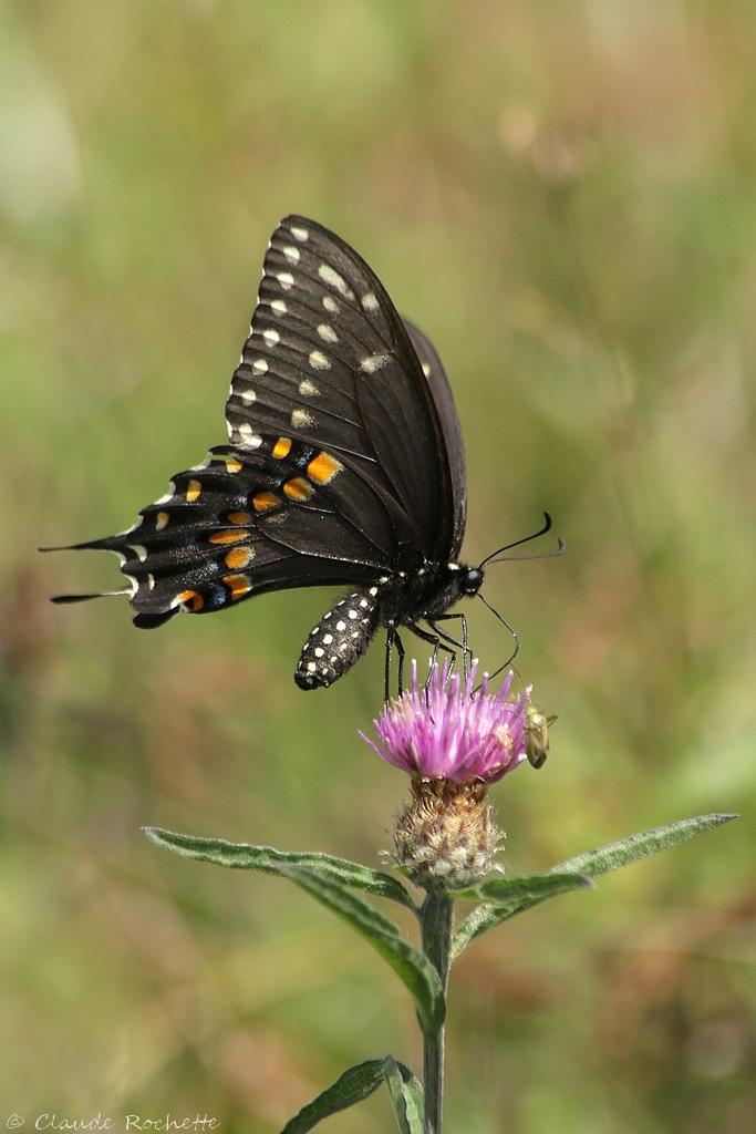 Papillon du céleri 170954560.5k9bbSC9.Papillonducleri_MG_0812