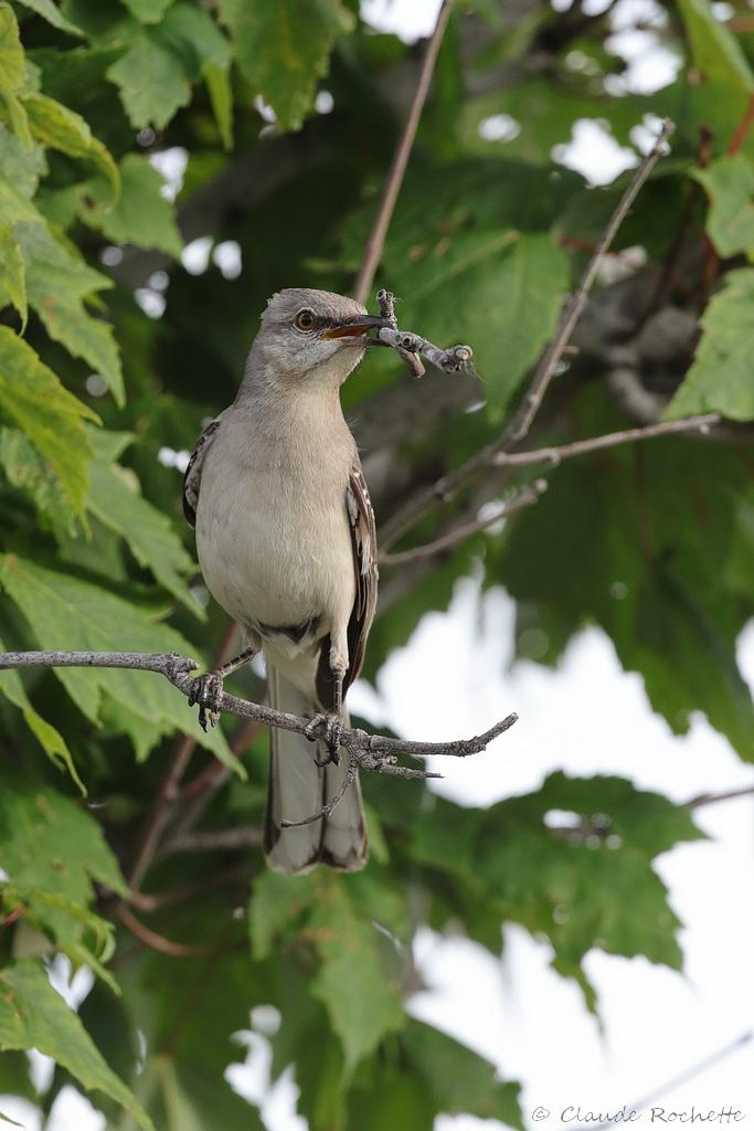 Moqueur polyglotte préparation d'un deuxième nid! 171782938.gAYMKTBL.Moqueurpolyglotte_IMG_1068