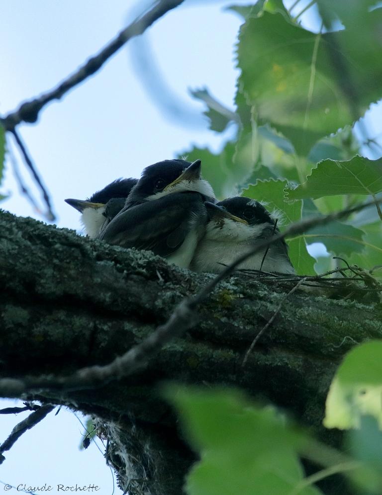 Les triplets au nid. 171851235.fsvelR5K.Tyrantritri_IMG_3520