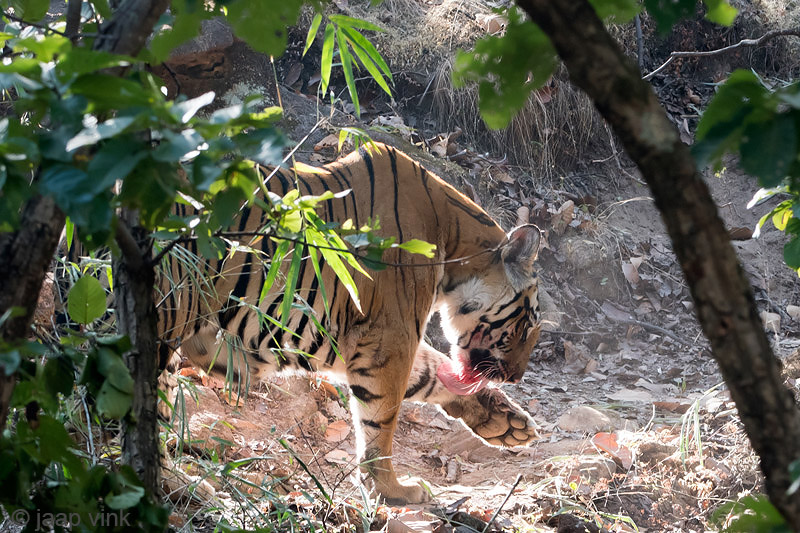 Tiger - Tijger - Panthera tigris