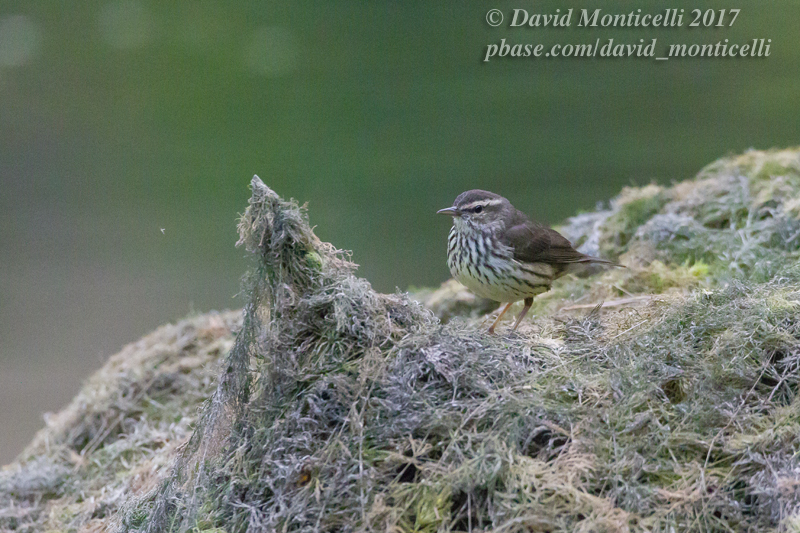 Northern Waterthrush (Parkesia noveboracensis)_Faja Grande (Flores)