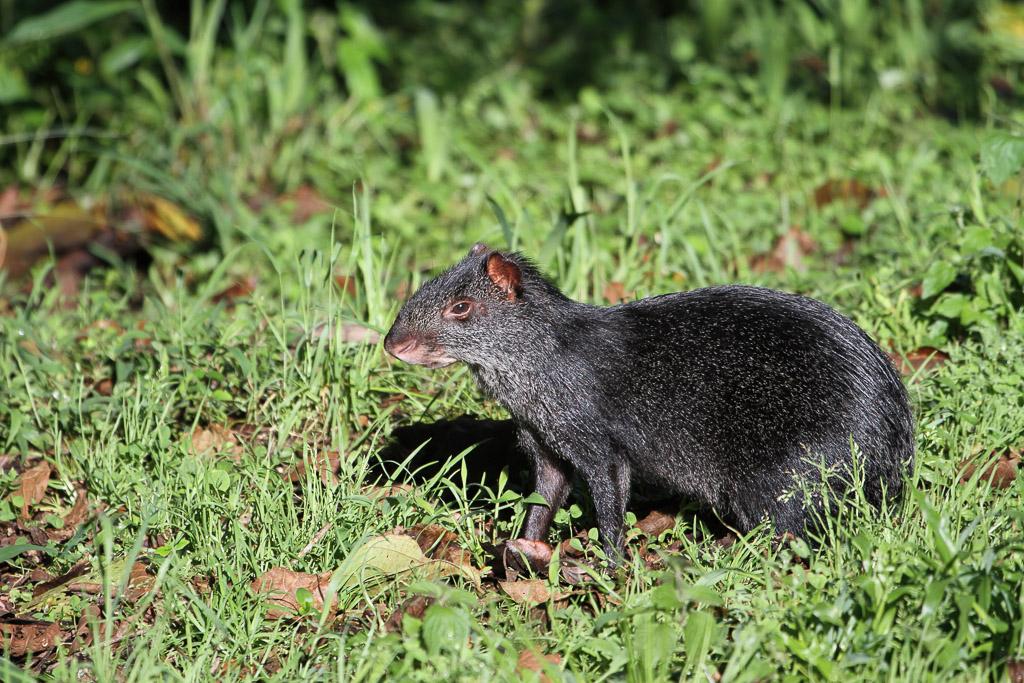 Black agouti