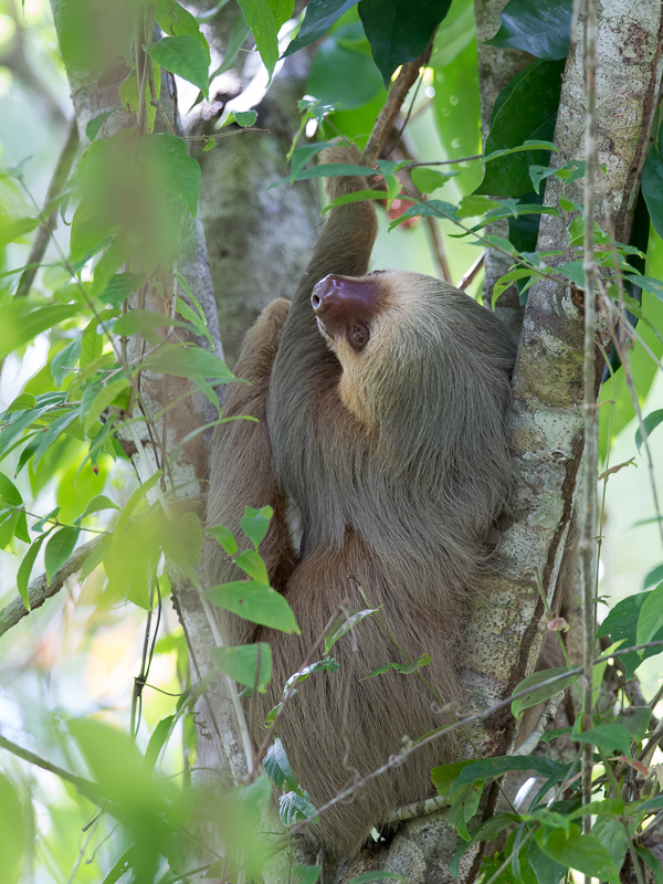 Hoffmanns two-toed sloth