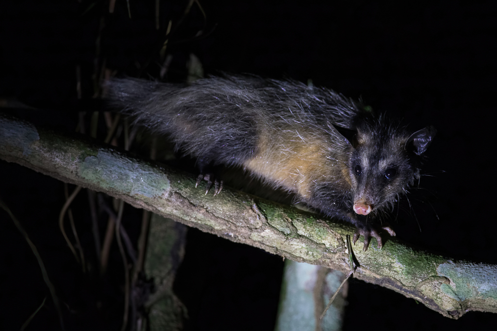 Bare-tailed woolly opossum